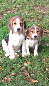 Registered beagle puppies