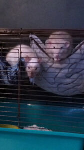 Rats + Cage