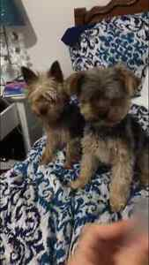 SMALL YORKIE PUPPIES READY TO GO