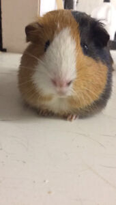 Free to good home male guinea pig.