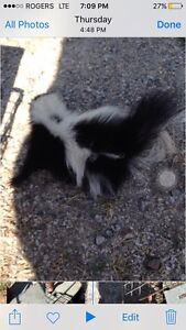 Skunk raccoon removal