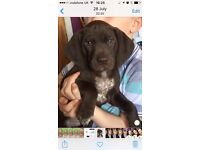 German pointer puppie for sale