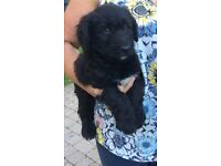 Standard poodle X puppy for sale
