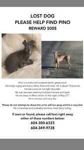 LOST DOG, Italian Greyhound, $500 reward