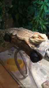 baby bearded dragon needs new home! St. John's Newfoundland image 3
