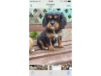 Cavalier King Charles puppy's
