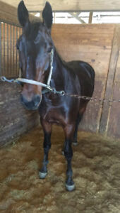 Standardbred horses wanted