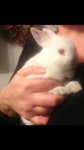 Lapin nain / Dwarf rabbit