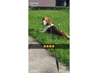 Male beagle open to offers