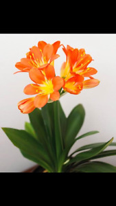 Looking for house plant called Clivia