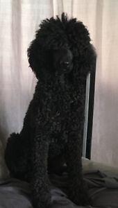 CKC  smaller Standard poodle puppies coming  Aug 2, 2018