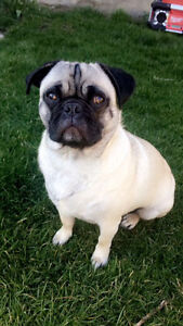 Looking For Adult Male Pug