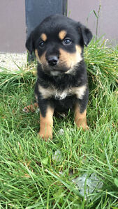 !!!!!ONLY 2 LEFT!!!!!!  Border collie cross puppies