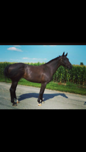Notorious 3E. Hanoverian mare for sale.