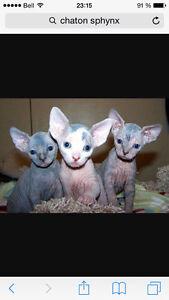 Recherche petit chaton SPHYNX
