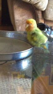 Missing Lovebird $500 reward