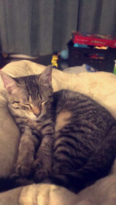 Free 8month old Cat