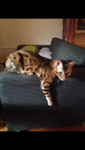 Lost my Bengal Cat - Hanover area