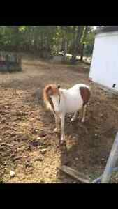 Mini Pony Mare Great With Kids !!
