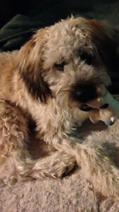 Lost \ stolen Wheaten Terrier