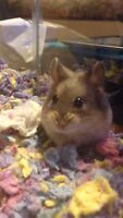 Russian Dwarf Hamster (with Cage and extras)