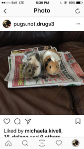 2 guinea pigs needing a new home (includes everything)