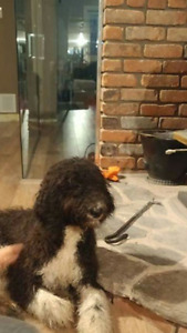 Missing 2 Standard Poodle Puppies