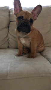 Pure Breed French Bulldog Litter ready to go! 7 left!