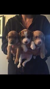 Magnifique Chiot beagle X teckel ❤️