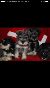 Breeder of this mini schnauzer litter born oct 24 2017