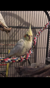 Cockatiels and Cage