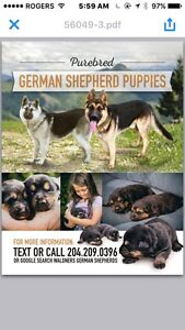 Purebred German shepherd pups