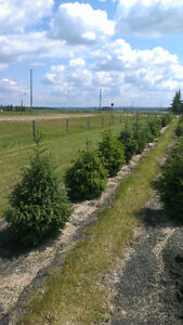 Trees and Shrubs For Sale