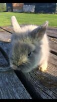 Dwarf size Lionhead Baby Bunnies For Sale