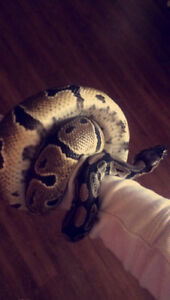 Ball python looking for a new home