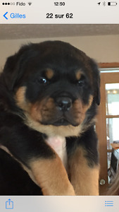 chiot rottweiler pure