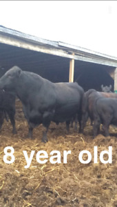 2 purebred black angus Bulls for sale