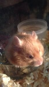 MALE BABY HAMSTER