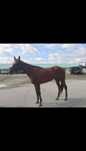 4 year old thoroughbred mare.
