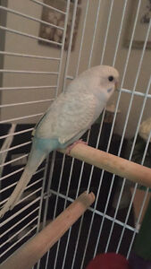 Beautiful female parakeet and everything you need!