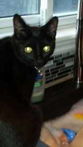 Missing Black male cat with small patch of white under belly.