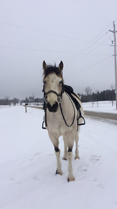 Buckskin Pinto Large Pony Mare for sale