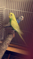 two lovely parakeets for sale