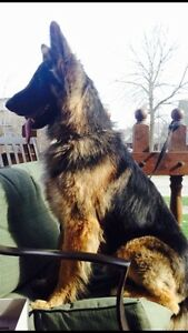 Looking for male German shepherd