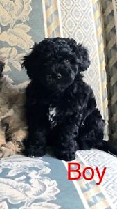 Bichon Frise X Toy Poodle Pup!! READY NOW!! PICK OF THE LITTER!