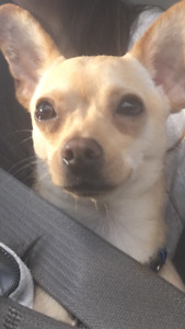 Missing chihuahua since march 25 10 pm Thornhill woods area