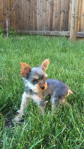 ULTRA TINY TEACUP YORKIE MALE PUPPY