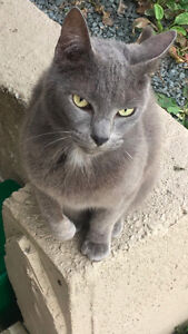 Found Grey Male Cat in Cole Harbour/Dartmouth