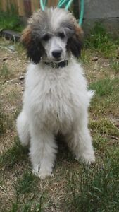 Guardian home for a Small Standard Poodle Girl