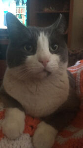 Grey and white male cat missing